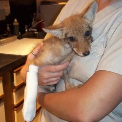 Wildlife_Coyote with broken leg